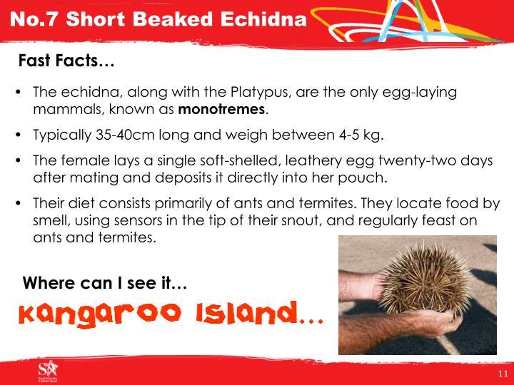 No.7 Short Beaked Echidna