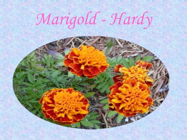 Marigold - Hardy