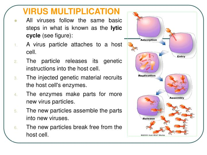 VIRUS MULTIPLICATION