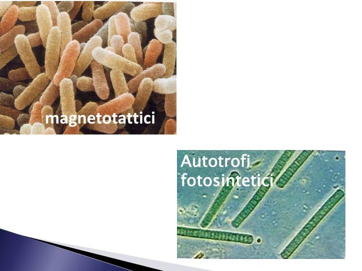 magnetotattici