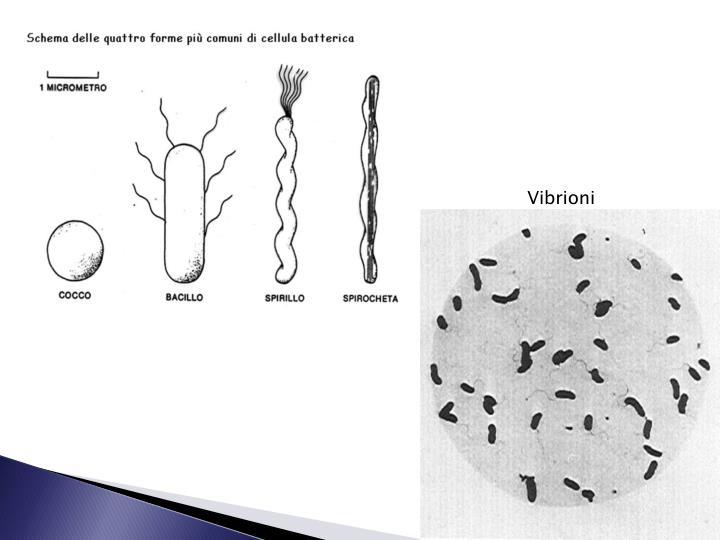 Vibrioni
