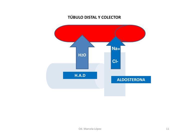 TÚBULO DISTAL Y COLECTOR
