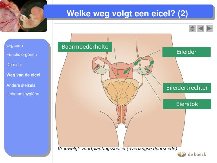 Vrouwelijk voortplantingsstelsel (overlangse doorsnede)