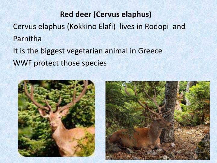 Red deer (
