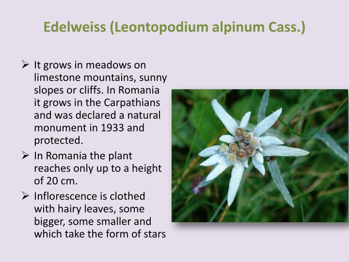 Edelweiss (