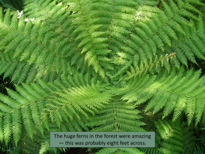 The huge ferns in the forest were amazing — this was probably eight feet across.