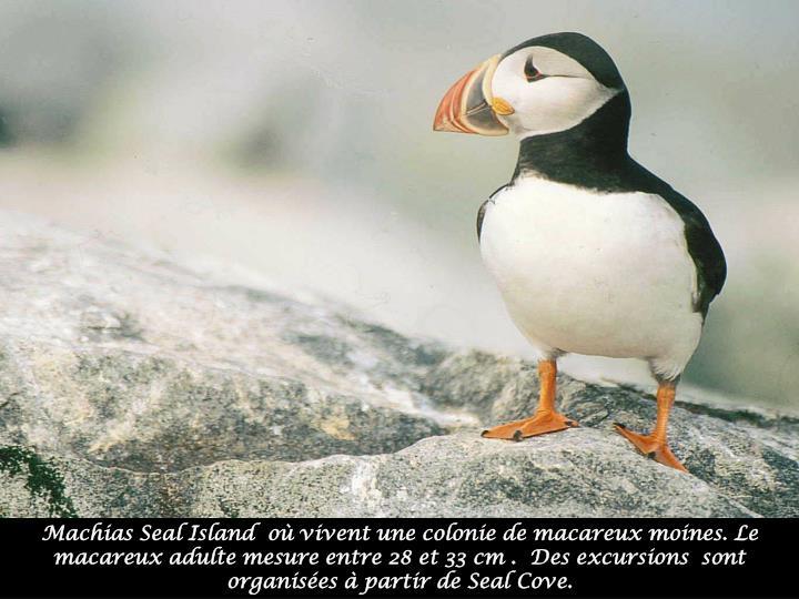 Machias Seal Island  où vivent une colonie de macareux moines. Le macareux adulte mesure entre 28 et 33 cm .  Des excursions  sont organisées à partir de Seal Cove.