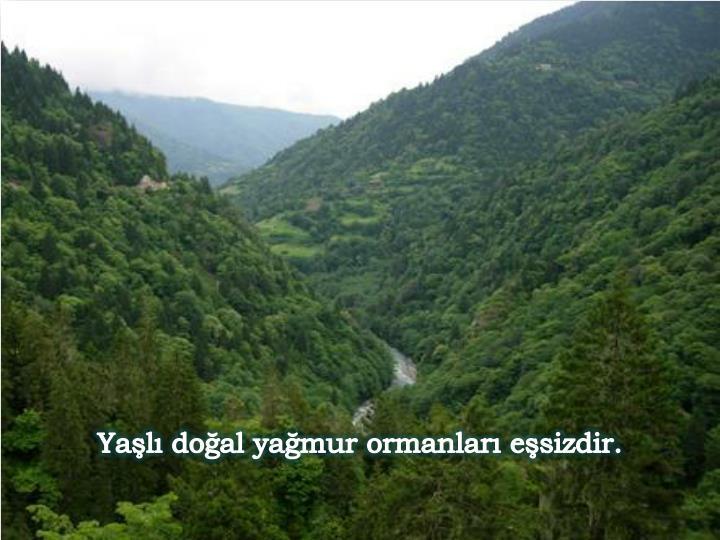 Yaşlı doğal yağmur ormanları eşsizdir.