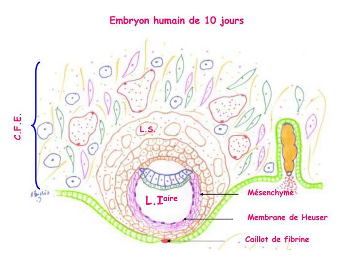 Embryon humain de 10 jours