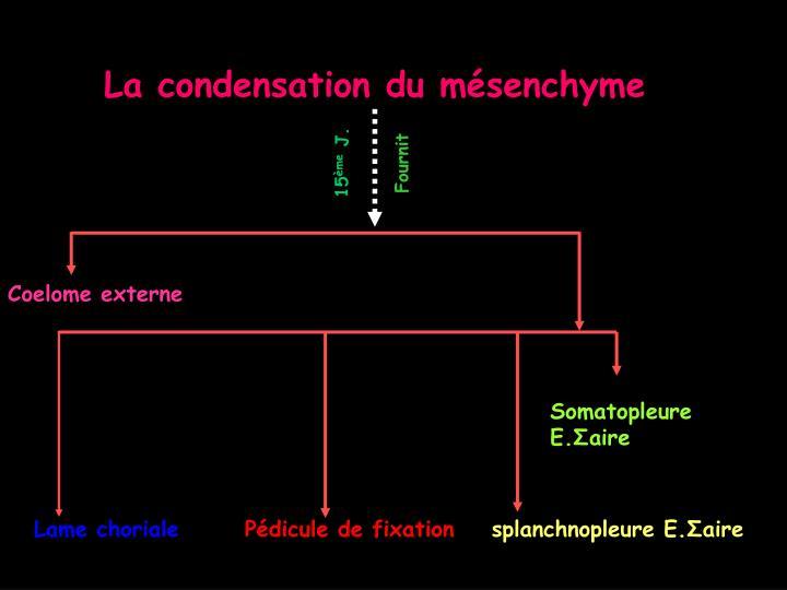 La condensation du mésenchyme