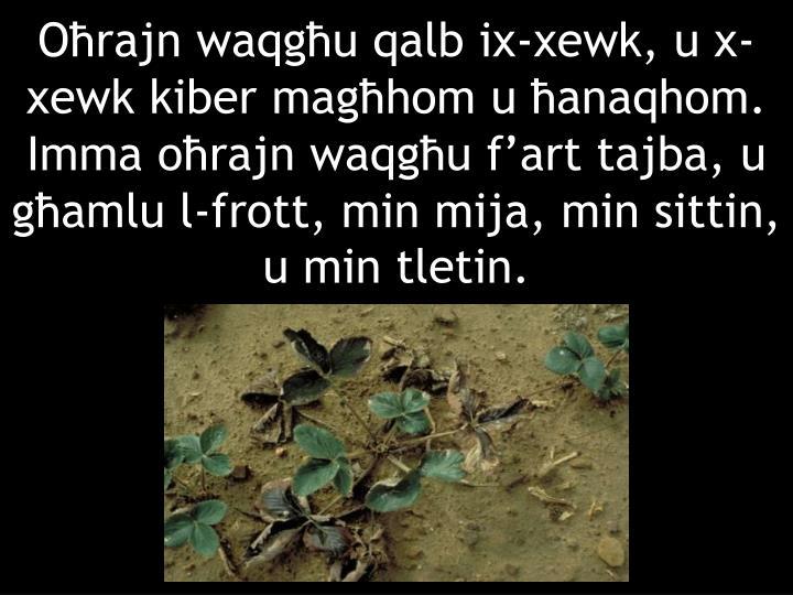 Oħrajn waqgħu qalb ix-xewk, u x-xewk kiber magħhom u ħanaqhom. Imma oħrajn waqgħu f'art tajba, u għamlu l-frott, min mija, min sittin, u min tletin.