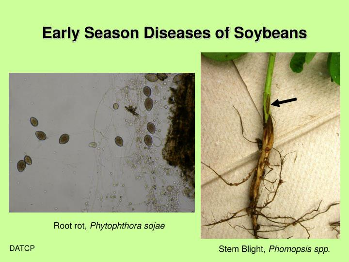 Early Season Diseases of Soybeans