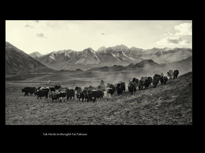 Yak-Herde im Boroghil-Tal, Pakistan
