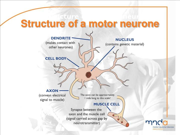 Ppt motor neurone disease powerpoint presentation id What is lower motor neuron disease