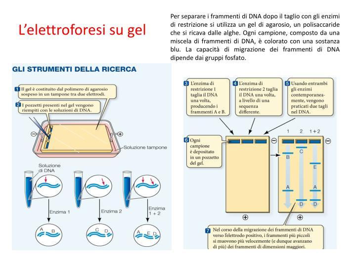 Per separare i frammenti di DNA dopo il taglio con gli enzimi di restrizione si utilizza un gel di