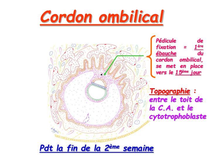 Cordon ombilical