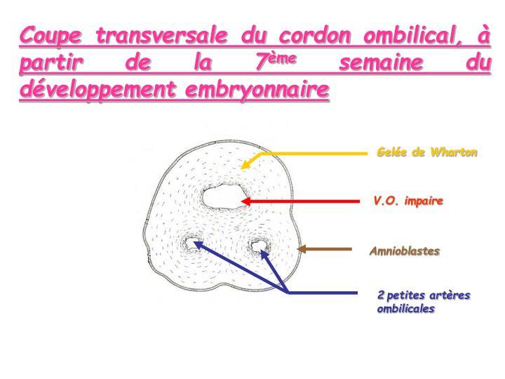 Coupe transversale du cordon ombilical, à partir de la 7