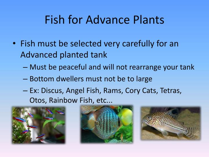 Fish for Advance Plants
