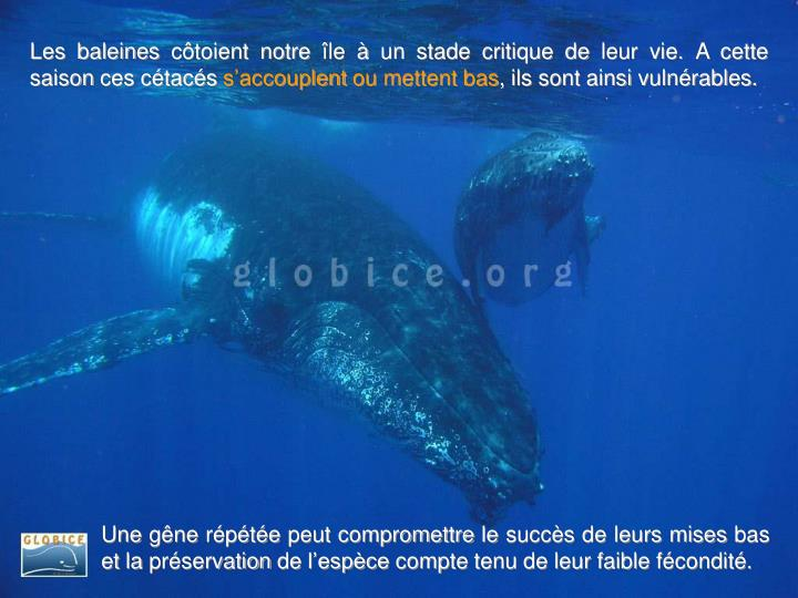 Les baleines côtoient notre île à un stade critique de leur vie. A cette saison ces cétacés