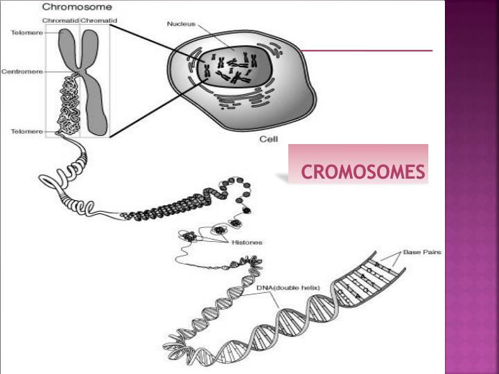 cromosomes