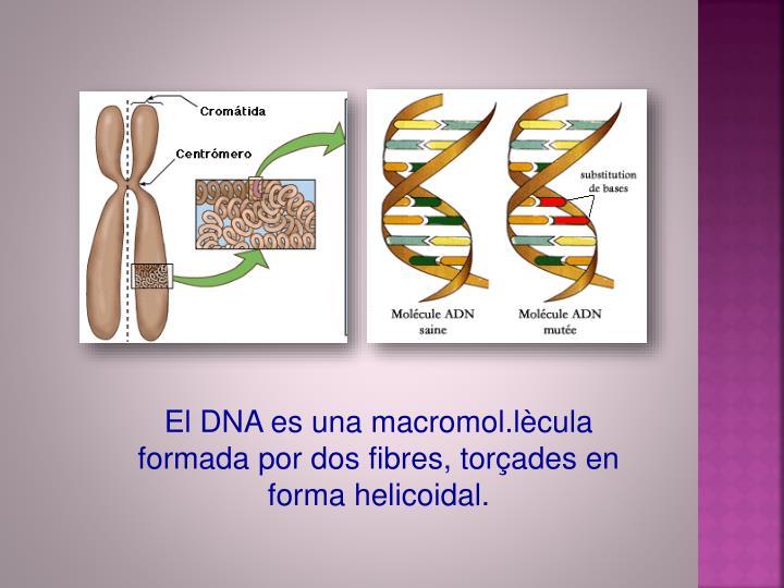 El DNA es una macromol.lècula formada por dos fibres, torçades en forma helicoidal.
