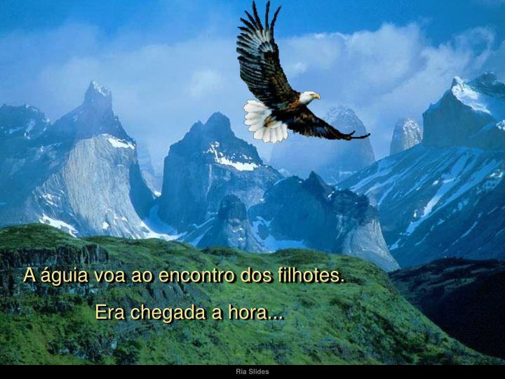 A águia voa ao encontro dos filhotes.