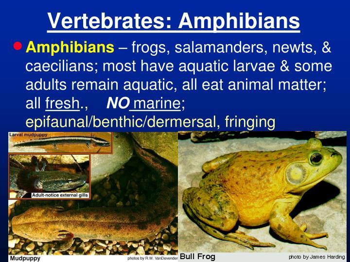 Vertebrates: Amphibians