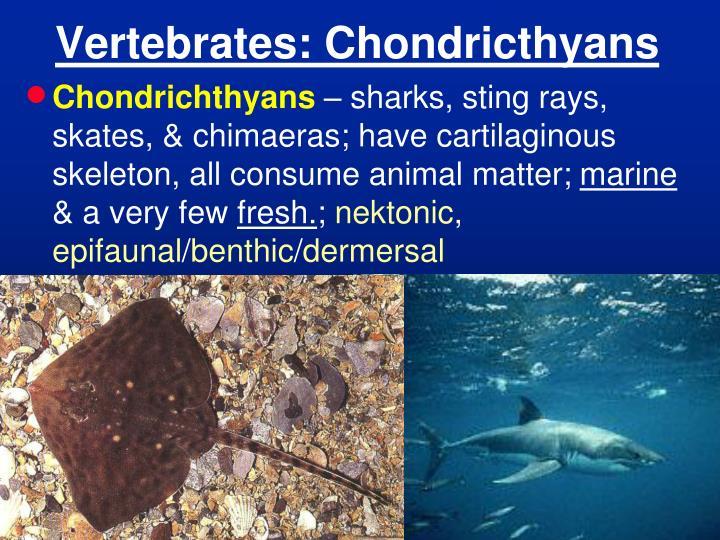 Vertebrates: Chondricthyans