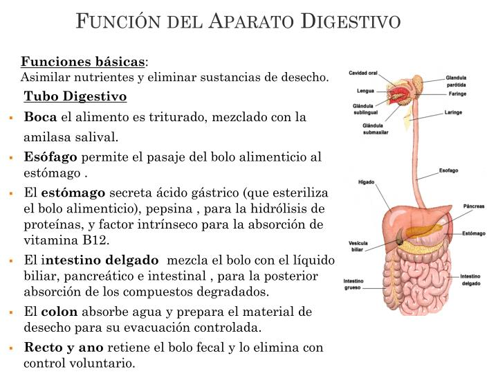 Función del Aparato Digestivo