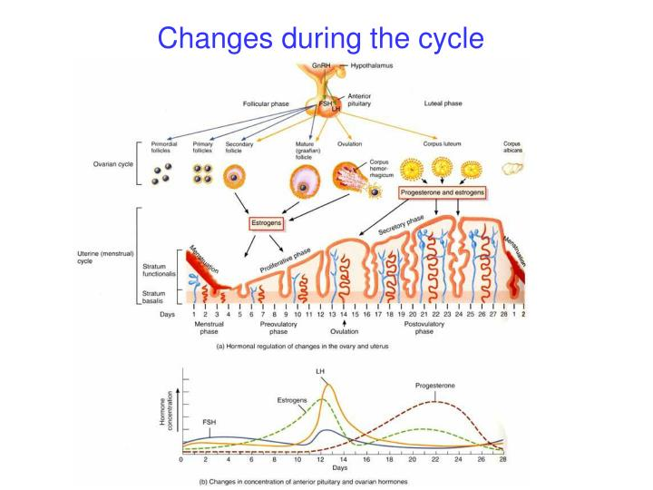 Changes during the cycle