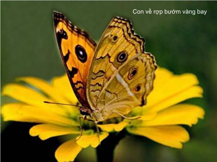 Con về rợp bướm vàng bay