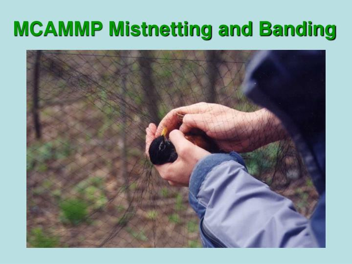 MCAMMP Mistnetting and Banding