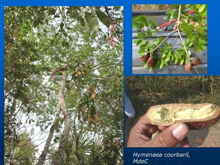 Hymenaea courbaril, MdeC