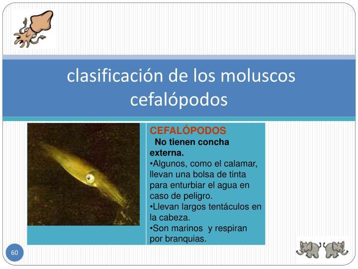 clasificación de los moluscos  cefalópodos