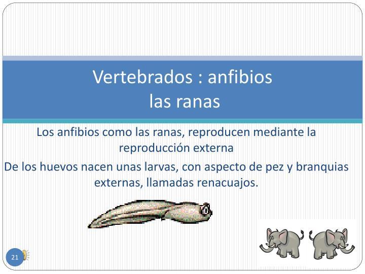 Vertebrados : anfibios