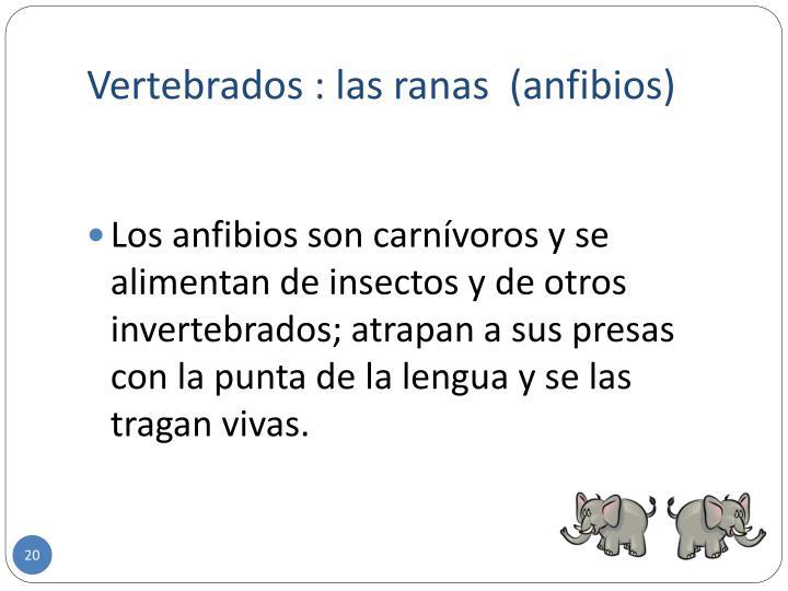 Vertebrados : las ranas  (anfibios)
