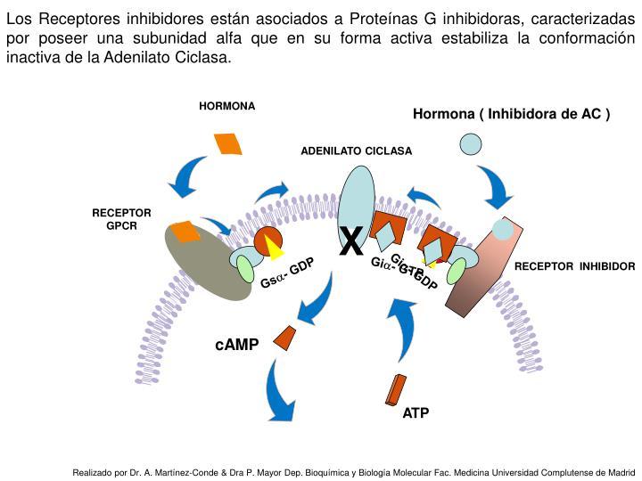 Los Receptores inhibidores están asociados a Proteínas G inhibidoras, caracterizadas por poseer una subunidad alfa que en su forma activa estabiliza la conformación inactiva de la Adenilato Ciclasa.