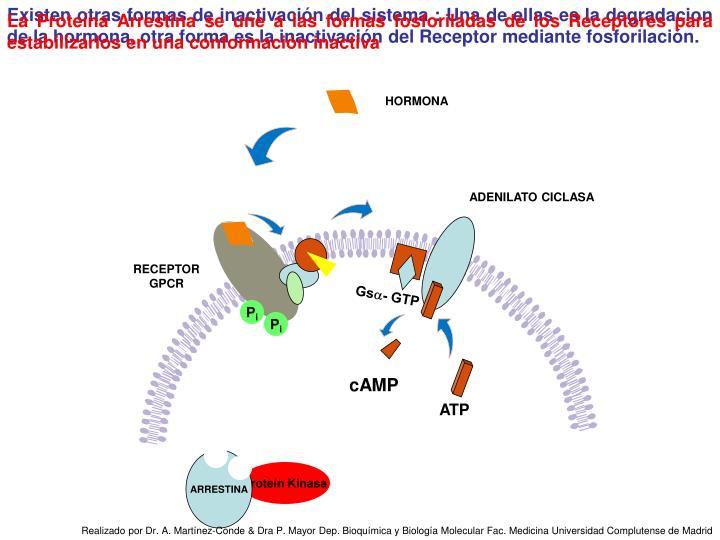 Existen otras formas de inactivación del sistema : Una de ellas es la degradacion de la hormona, otra forma es la inactivación del Receptor mediante fosforilación.