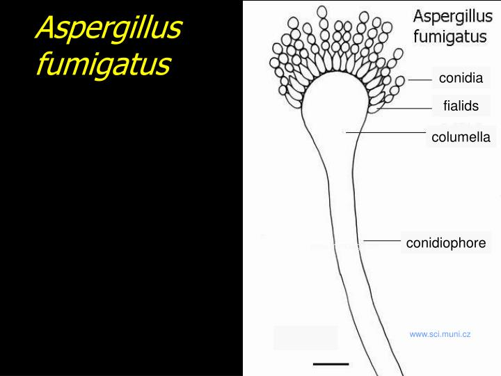 Aspergillus fumigatus