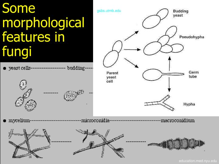 Some morphological features in fungi
