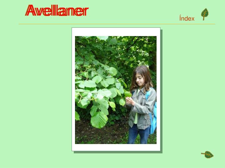 Avellaner