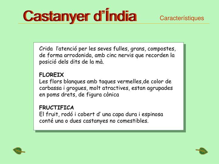 Castanyer d'Índia
