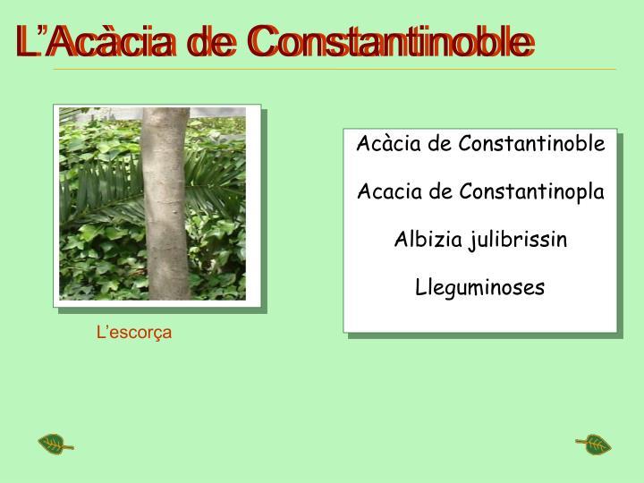 L'Acàcia de Constantinoble