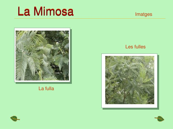 La Mimosa