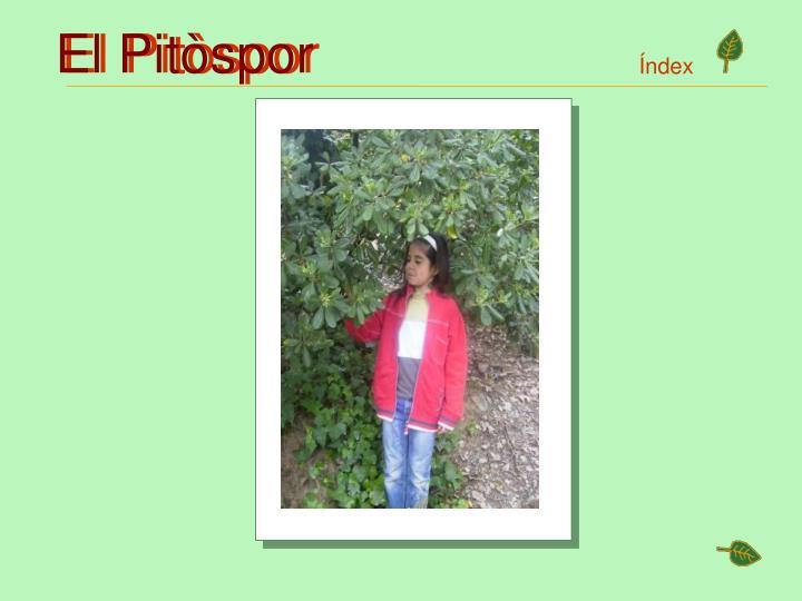 El Pitòspor