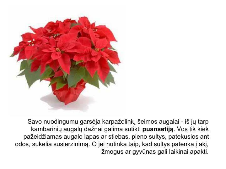 Savo nuodingumu garsėja karpažolinių šeimos augalai - iš jų tarp kambarinių augalų dažnai galima sutikti