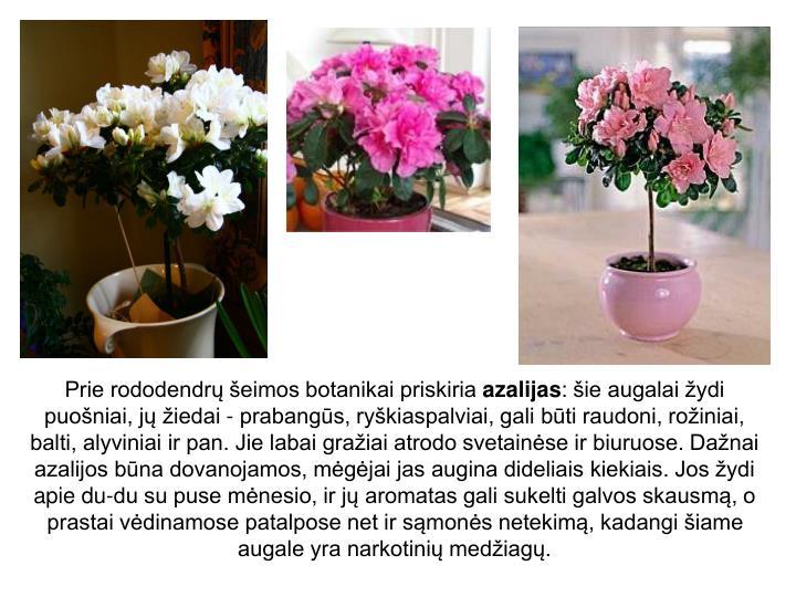 Prie rododendrų šeimos botanikai priskiria