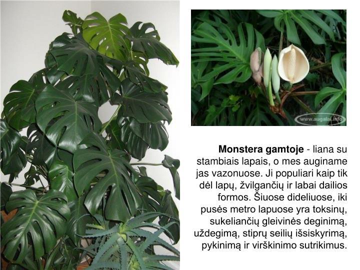 Monstera gamtoje