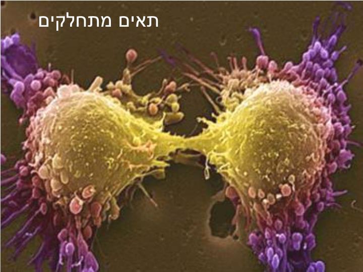 תאים מתחלקים