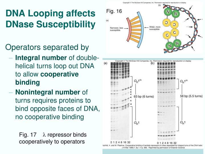 DNA Looping affects DNase Susceptibility